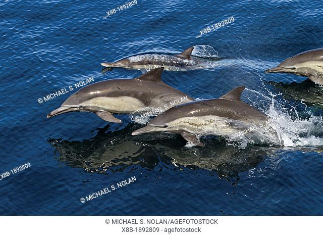 Long-beaked common dolphins Delphinus capensis encountered off Isla San Esteban in the Gulf of California Sea of Cortez, Baja California, Mexico