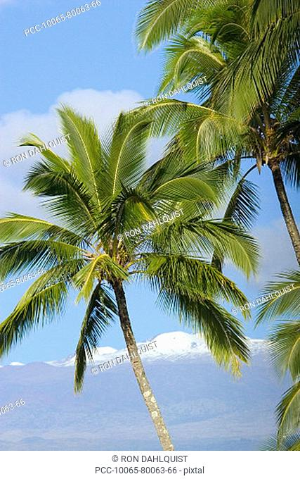 Hawaii, Palm trees with snowcapped mountain in the background