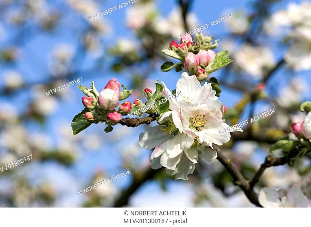 Close-up of white apple blossoms in spring, Bavaria, Germany