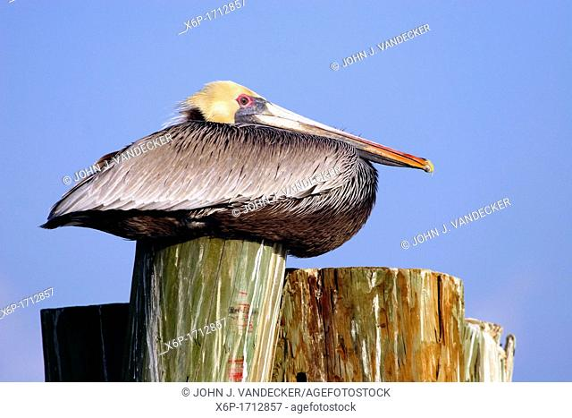 A Brown Pelican, Pelecanus occidentalis, breeding adult sitting on a piling at a marina  Fort Myers, Florida, USA