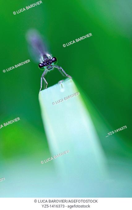 Ischnura elegans - Blue tailed damselfly - Roller coaster