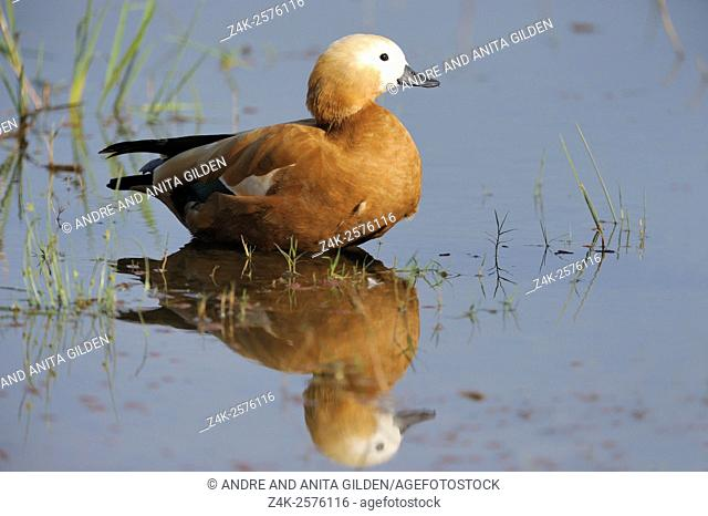 Ruddy Shelduck (Tadorna ferruginea) standing in water with reflection, Ranthambhore national park, Rajasthan, India