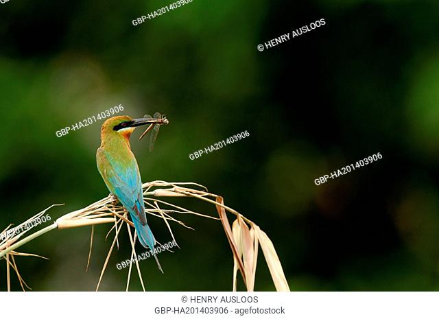 Thailand, Blue-tailed Bee-eater, Merops philippinus, 31/05/2013
