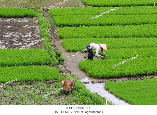 Vietnam, Son La province, Phu Yen, transplanting young rice, White Thai ethnic group or Tai Krao