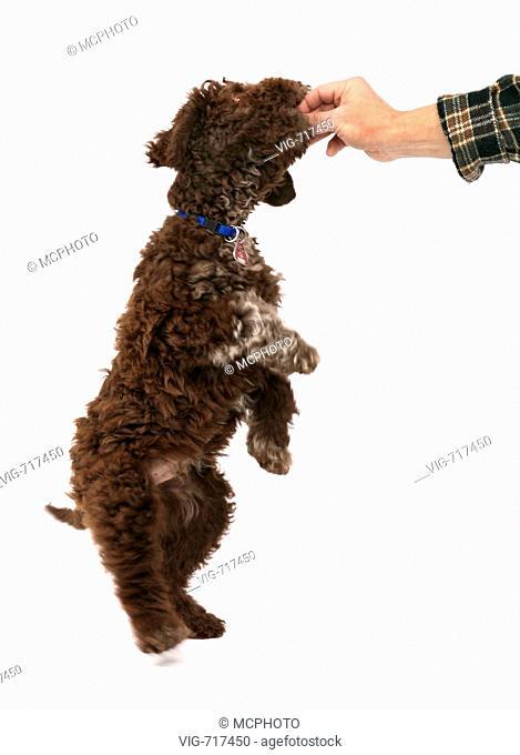 Italian Waterdog (Canis lupus f. familiaris), man feeding puppy  - 11/01/2008