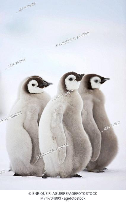 Emperor Penguin Aptenodytes forsteri, chick at Snow Hill Island, Weddel Sea, Antarctica