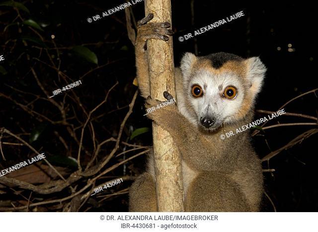 Crowned lemur (Eulemur coronatus), male, in dry forest of Ankarana, Northwestern Madagascar, Madagascar