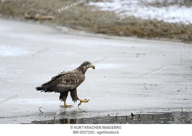 White-tailed Eagle or Sea Eagle (Haliaeetus albicilla)