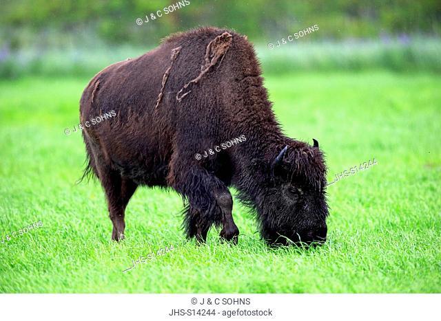Wood Bison, (Bison bison athabascae), adult feeding, Alaska Wildlife Conversation Center, Anchorage, Alaska, USA, Northamerica