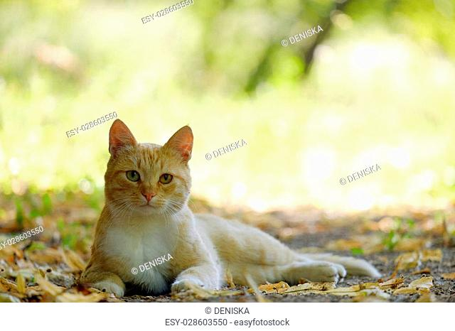 Red-headed cat is in the shade on the fallen leaves