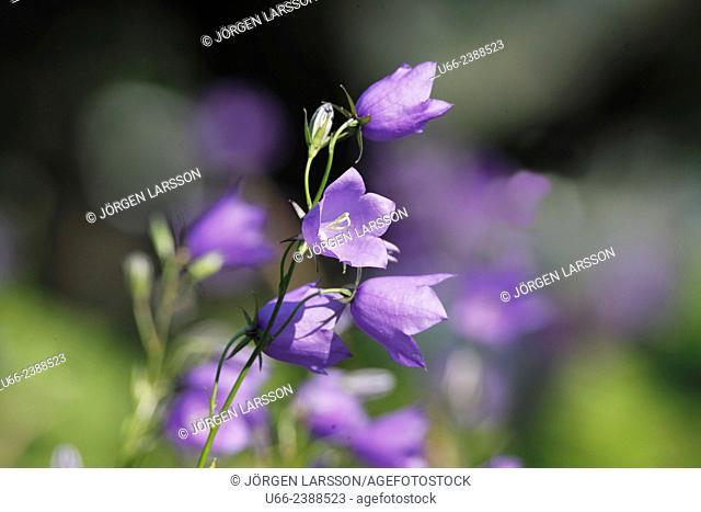 Bluebell, Campanula rotundifolia, Småland, Sweden