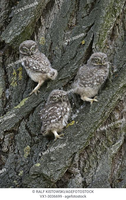 Fledglings of Little Owl / Minervas Owl (Athene noctua) sits together in the bark of a tree with its yellow eyes wide open
