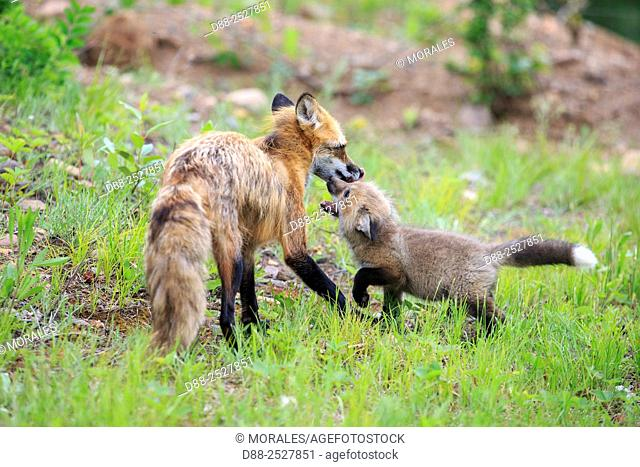 United States, Minnesota, Red Fox Vulpes vulpes, adult with young