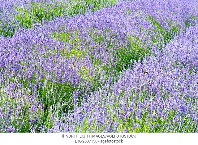 Canada, BC, Saltspring Island. Field of Lavender