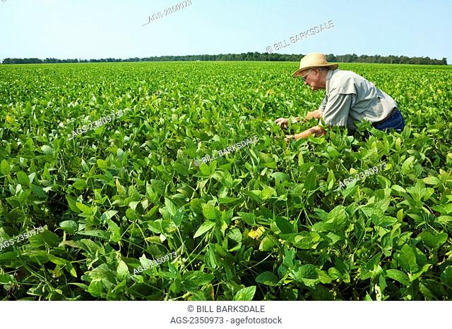 Agriculture - A farmer (grower) inspects his mid growth crop of soybeans at the green pod stage / Northeast Arkansas, USA