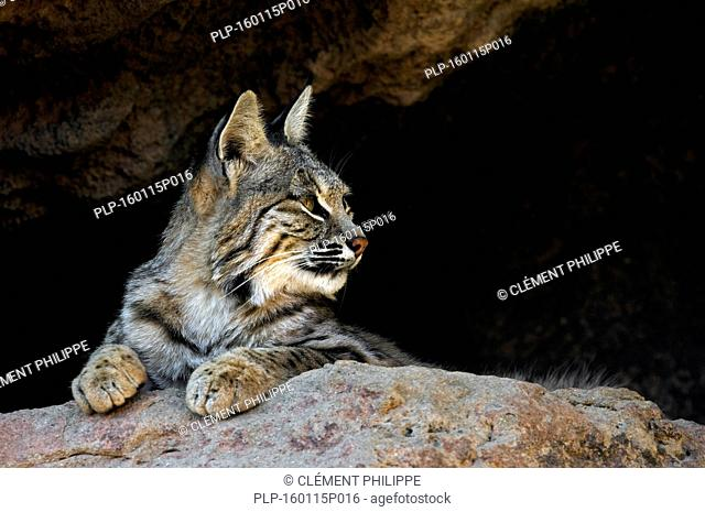 Bobcat (Lynx rufus / Felis rufus) resting at cave entrance, native to southern Canada, North America and Mexico