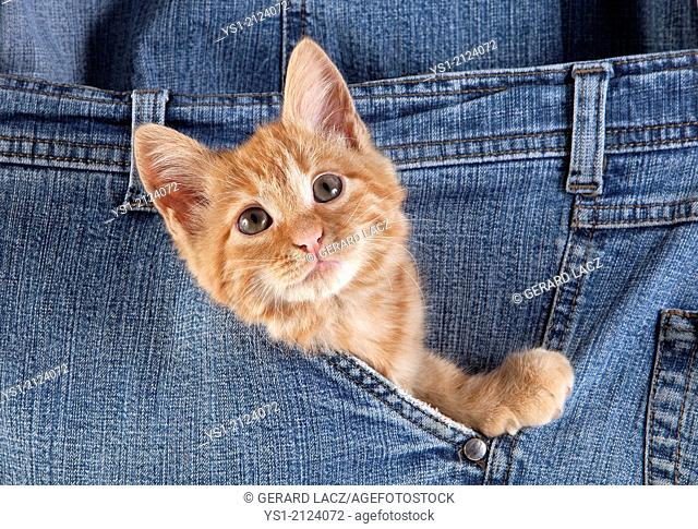Red Tabby Domestic Cat, Kitten playing in Jeans Pocket
