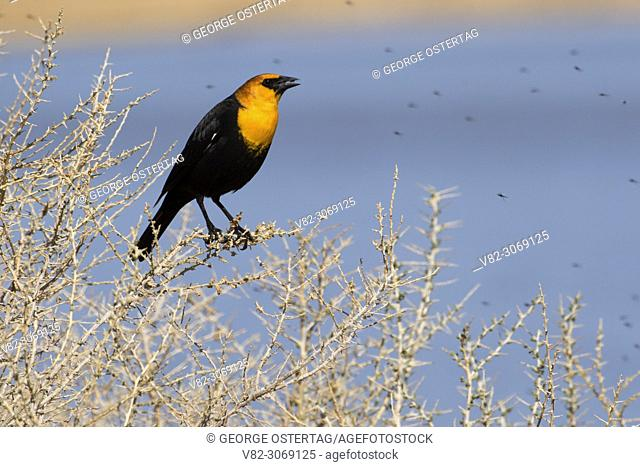Yellow-headed blackbird (Xanthocephalus xanthocephalus), Summer Lake Wildlife Area, Oregon Outback Scenic Byway, Oregon