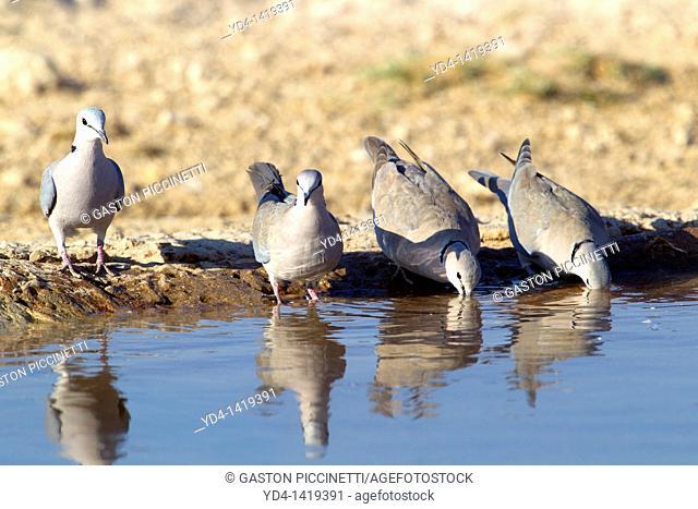 Cape Turtle Dove Streptopelia capicola, in the waterhole, Mabuasehube, Kgalagadi Transfrontier Park, Kalahari desert, Botswana