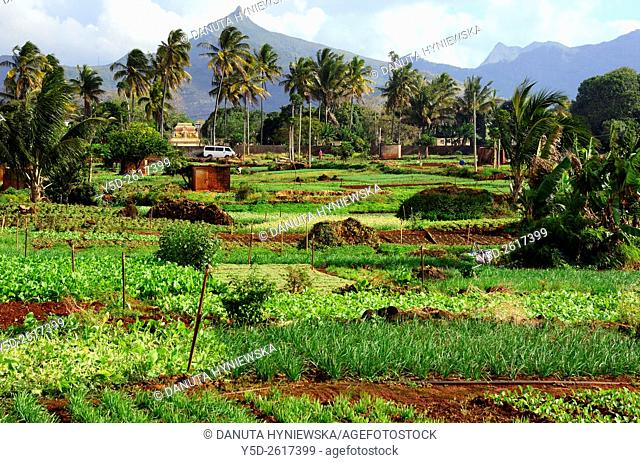 agriculture farm, Terre Rouge, Pamplemousses district, Mauritius, Africa