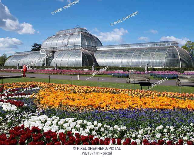 Europe, UK, England, London, Kew Gardens Palm House tulips