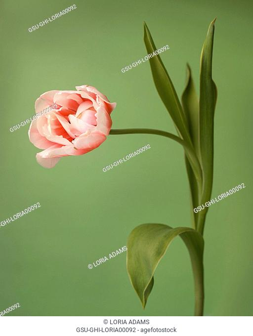 Tulip, Bowed and Curved on Stem against Green Background
