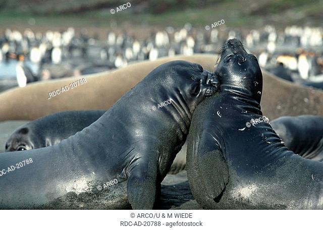Southern Elephant Seals St Andrews Bay South Georgia Mirounga leonina