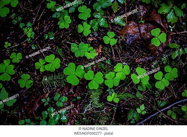 USA, Olympic National Park, Trifolium