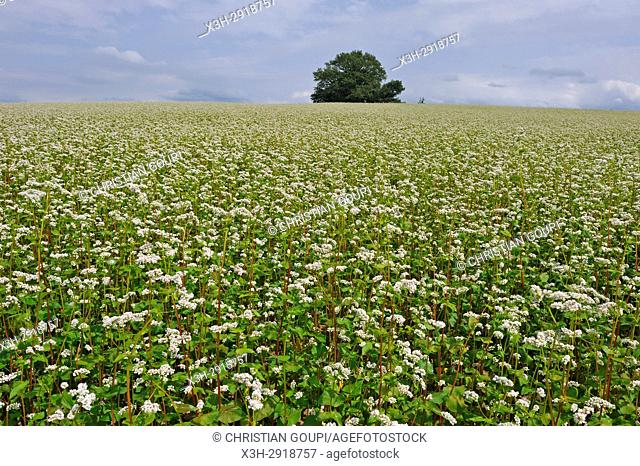 blossoming buckwheat field, Puy-de-Dome department, Auvergne-Rhone-Alpes region, France, Europe