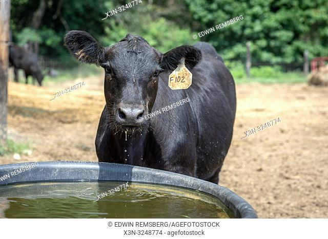Water drips from agnus cow's mouth as it stands at trough, Valley Lee, Maryland