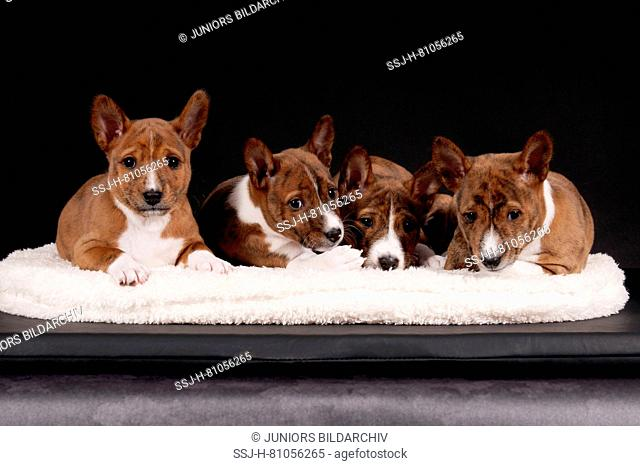 Basenji. Four puppies (6 weeks old) lying on a pet bed. Studio picture against a black background. Germany
