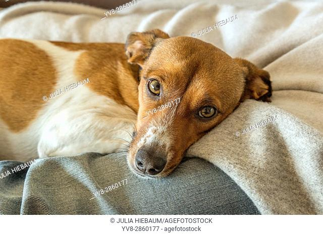 Relaxing mixed breed dog