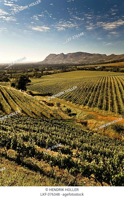 View onto the vineyards of the winery Klein Constantia, Constantia, Cape Town, Western Cape, South Africa, RSA, Africa