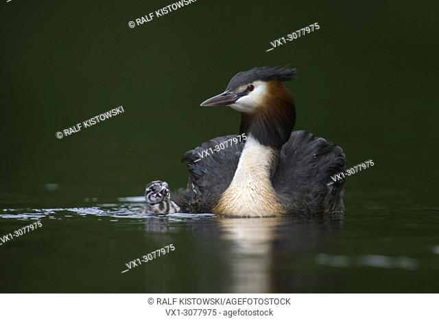 Great Crested Grebe ( Podiceps cristatus ), adult with fledgling, swimming next to each other, wildlife, Europe.