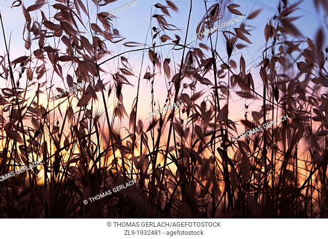 Sunset and grasses in foreground