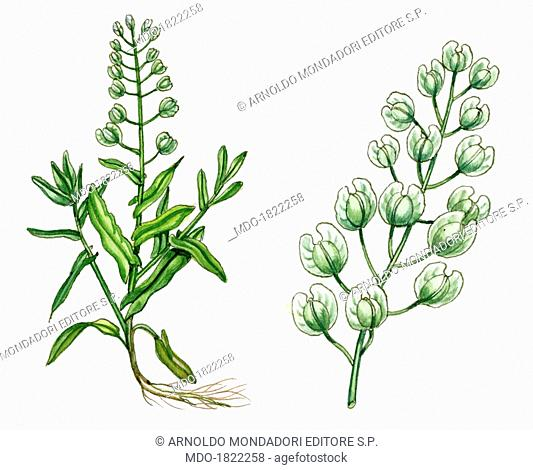 Field Penny-cress (Thlaspi arvense), by Giglioli E., 20th Century, ink and watercolour on paper. Whole artwork view. Drawing of the plant with leaves and...