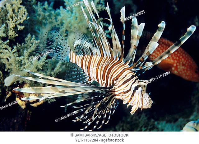 Lionfish swimming among coral at Elphinstone Reef in the Red Sea, Egypt