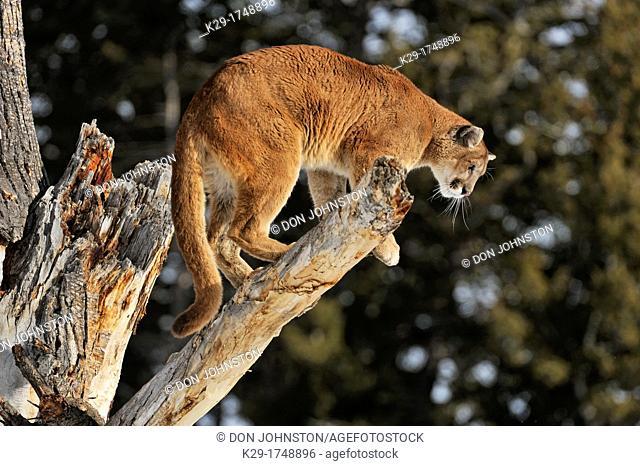 Cougar, Puma, Mountain lion Puma concolor , Bozeman, Montana, USA