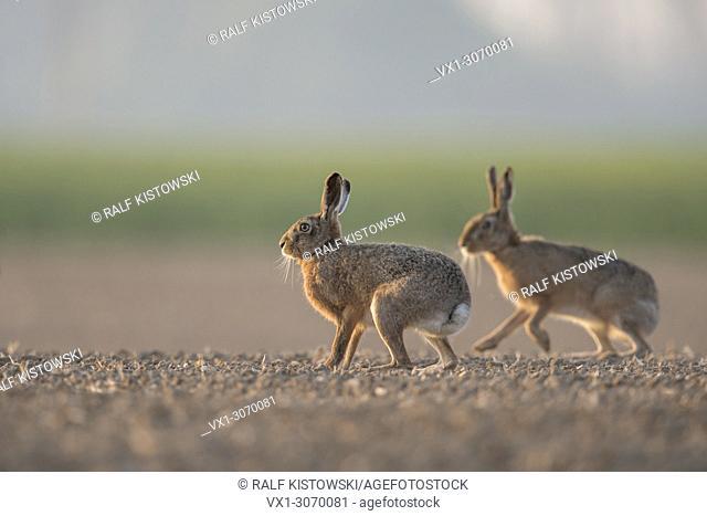 Brown Hares / European Hares ( Lepus europaeus ) two, pair of, sitting, playing on farmland, low point of view, wildlife, Europe