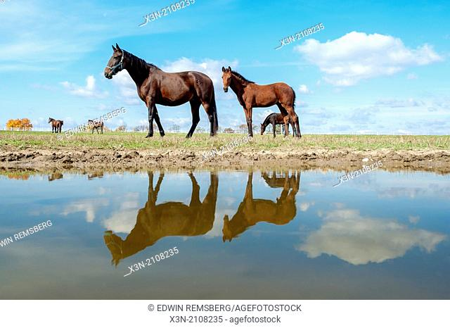 Standardbred horses walking by a pool of water with their reflection in Hanover, Pennsylvania