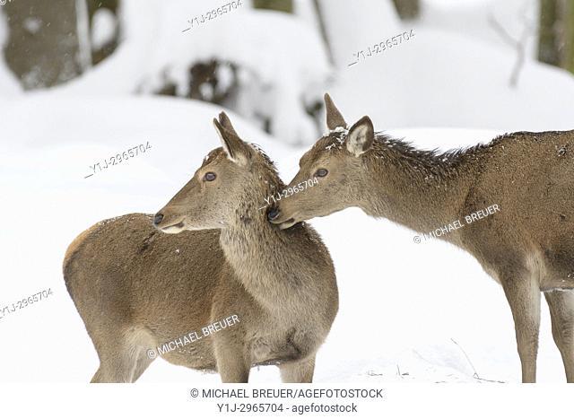 Red deers in Winter, Cervus elaphus, Females, Bavaria, Germany, Europe