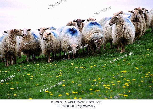 Flock of sheep lachen Idoia Collado long distance footpath GR 11 Navarra Spain