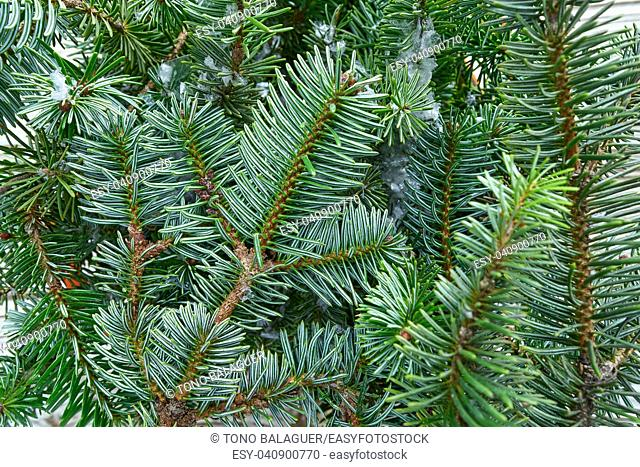 Christmas real fir tree leaves macro close up detail