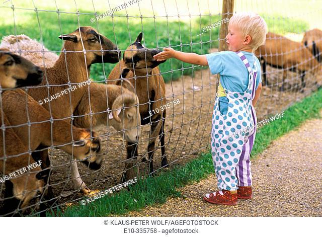 2 year old boy feeding sheep