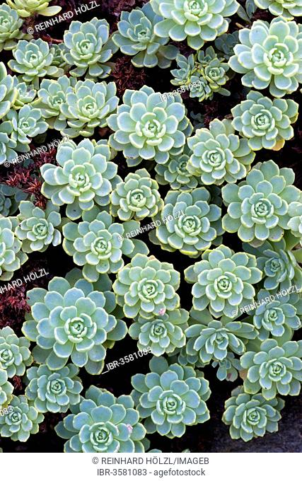 Gray Stonecrop (Sedum pachyclados), native to Pakistan and Afghanistan, Botanical Garden of the University of Innsbruck