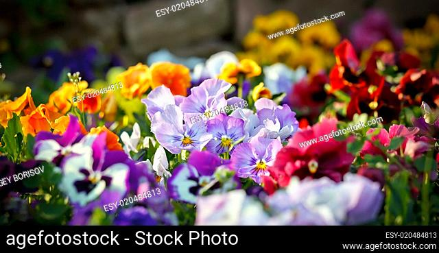Multicolored violet flowers