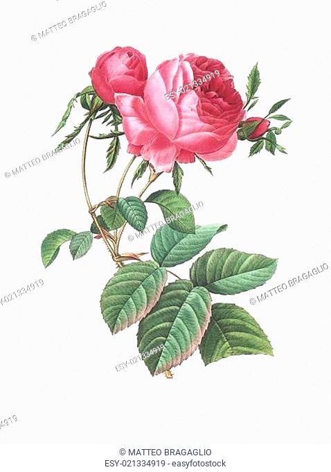 flower antique illustration rose