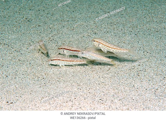 school of fish goatfish (Mullus barbatus) Black Sea, Crimea, Russia