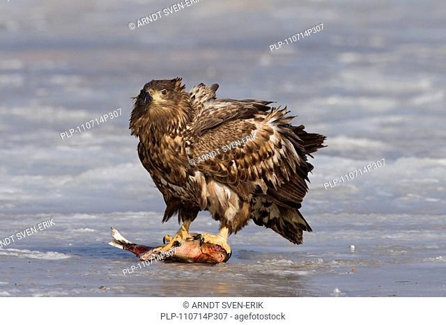 White-tailed Eagle / Sea Eagle / Erne Haliaeetus albicilla eating fish on frozen lake in winter, Germany