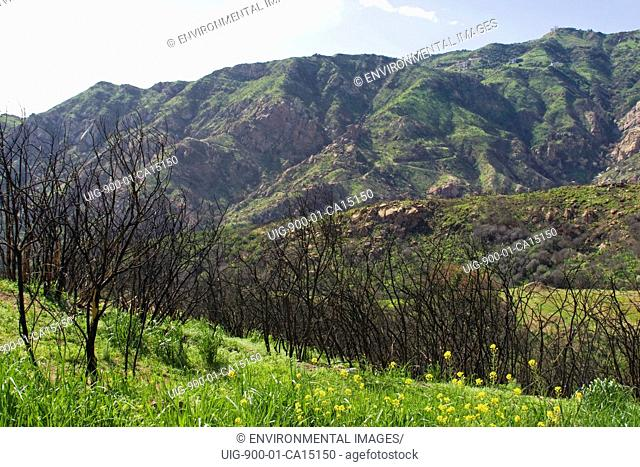 Regrowth near Rambla Pacifico in Malibu. California, USA. Spring and heavy rains brings re-growth to areas affected by wildfires